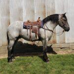 Bailey, Blue Roan Percheron Stallion