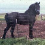 Black Storm, Percheron Stallion