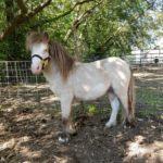 buck-white-stud-pony-1