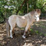 buck-white-stud-pony-2