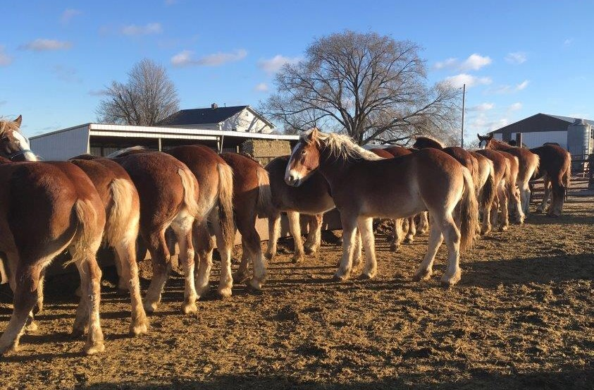Draft Horses for Sale in Alberta - Equine Now