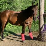 Dumplin, Quarter Pony Mare