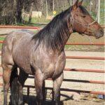 GSP Rock N Roan, AQHA Stallion