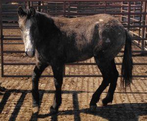 grey-stud-colt