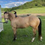 Jordy, Quarter Horse Gelding