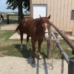 K Sandy Bo II, AQHA Stallion