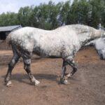 Percheron Mare, In Foal