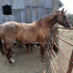 Reg. AQHA Mare, In Foal
