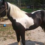 Max, Draft Paint Stallion