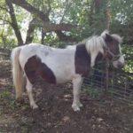 mini-mare-pony