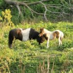 Oreo, Exposed Mare + Filly at Side