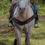 STF Driftin Legend, Perlino Stallion