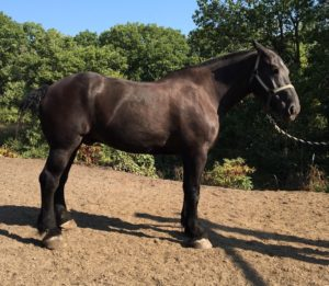 percheron-ted