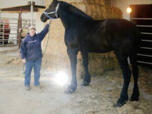 registered-percheron-mare