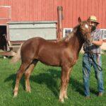 Rocky, 3/4 Belgian 1/4 Haflinger Stud Colt