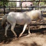 white-stud-pony-2
